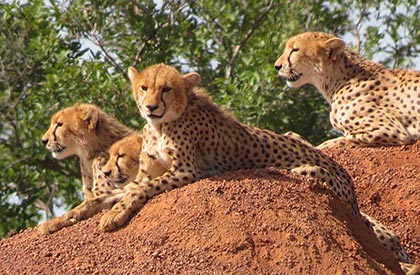 Group of cheetahs at the W Arly Pendjari Complex in Benin, Burkina Faso